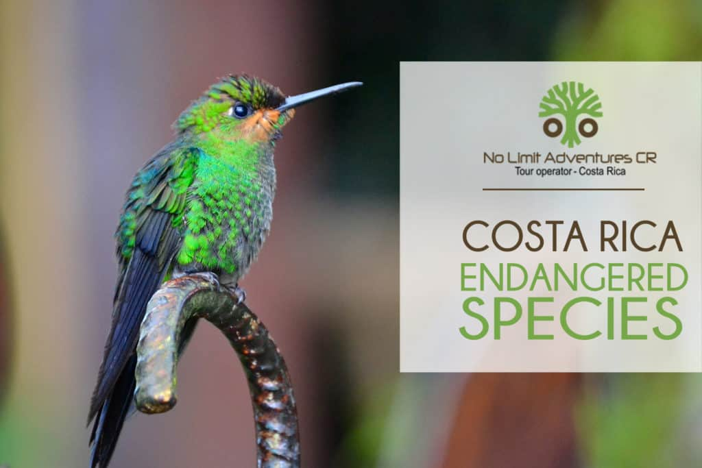 Costa Rica endangered species hummingbird